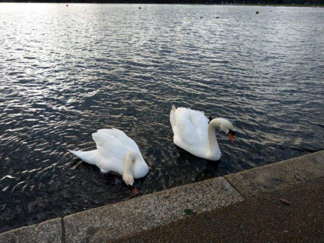 ハイドパークの白鳥